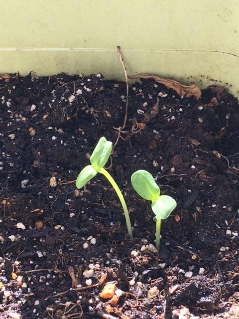ひまわりの芽